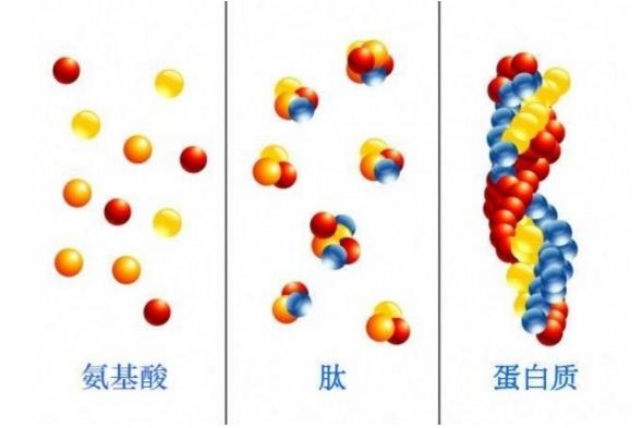 小分子肽是越小越好吗.png