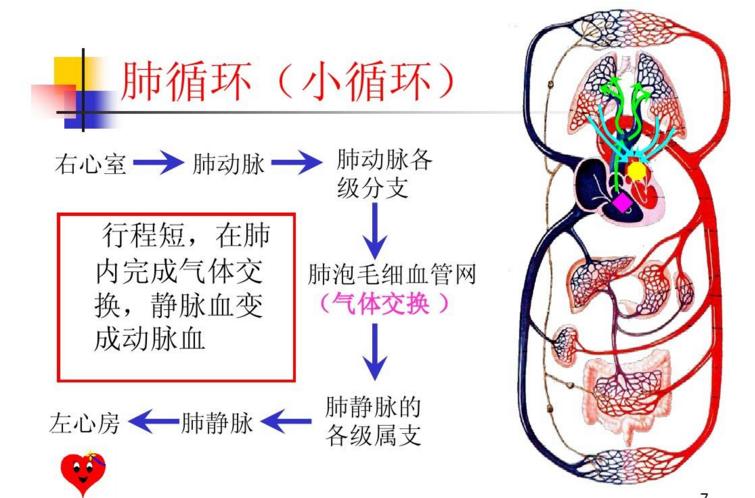 胶原蛋白肽与循环系统.png