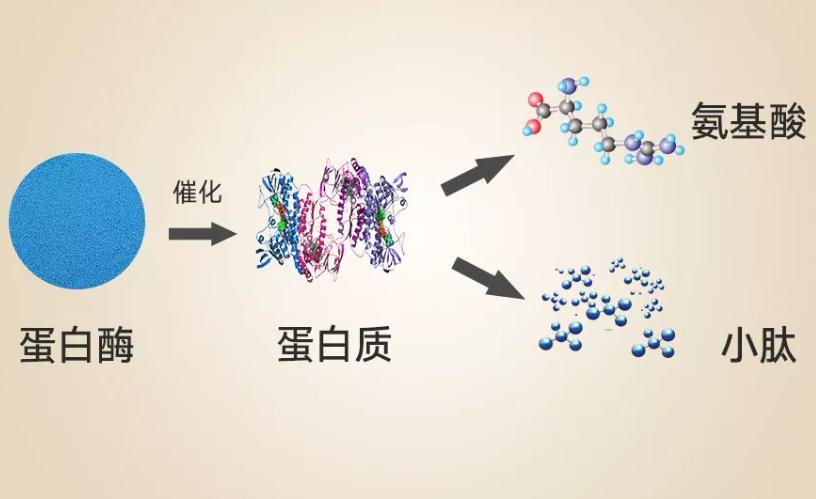 喝蛋白粉与喝蛋白肽有哪些不同?老人家喝蛋白肽效果好吗?